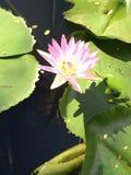 Λουλούδι λότο Στοκ φωτογραφίες με δικαίωμα ελεύθερης χρήσης