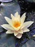 Λουλούδι λότο Στοκ εικόνα με δικαίωμα ελεύθερης χρήσης