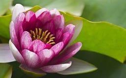 Λουλούδι. Στοκ εικόνα με δικαίωμα ελεύθερης χρήσης