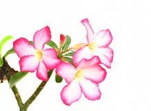 Λουλούδι Adenium Στοκ Φωτογραφία