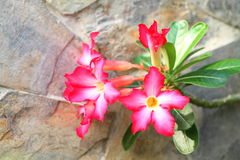 Λουλούδι Adenium Στοκ εικόνα με δικαίωμα ελεύθερης χρήσης
