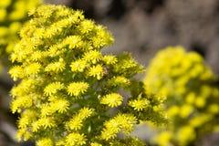 Λουλούδι Aeonium Στοκ Φωτογραφία