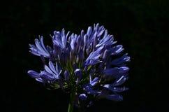 Λουλούδι Agapanthus Στοκ εικόνες με δικαίωμα ελεύθερης χρήσης