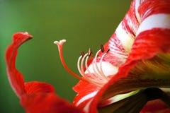 Λουλούδι Amaryllis με τα pistils και stamens στοκ εικόνα με δικαίωμα ελεύθερης χρήσης