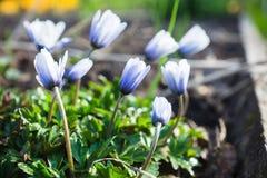 Λουλούδι Anemone στον κήπο Στοκ Εικόνες