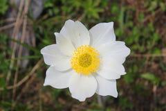 Λουλούδι Anemone στο λιβάδι Στοκ φωτογραφία με δικαίωμα ελεύθερης χρήσης