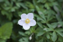 Λουλούδι Anemone Στοκ φωτογραφίες με δικαίωμα ελεύθερης χρήσης