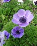Λουλούδι Anemone Στοκ Εικόνες