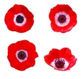 Λουλούδι Anemone διανυσματική απεικόνιση