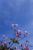 Λουλούδι Anemone Hupehensis που βλασταίνεται από τη χαμηλή γωνία Στοκ Φωτογραφίες