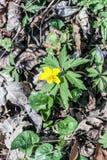 Λουλούδι Anemone ranunculoides Στοκ φωτογραφίες με δικαίωμα ελεύθερης χρήσης