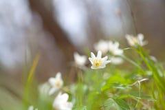 Λουλούδι anemone Snowdrop στο δάσος Στοκ Εικόνες