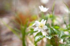 Λουλούδι anemone Snowdrop την άνοιξη Στοκ Εικόνα