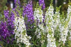 Λουλούδι Angelonia Στοκ Εικόνες