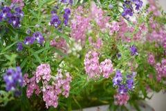 Λουλούδι Angelonia Στοκ εικόνα με δικαίωμα ελεύθερης χρήσης