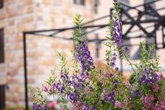 Λουλούδι Angelonia Στοκ φωτογραφία με δικαίωμα ελεύθερης χρήσης