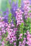 Λουλούδι Angelonia Στοκ Φωτογραφία