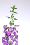 Λουλούδι Angelonia Στοκ εικόνες με δικαίωμα ελεύθερης χρήσης