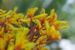 Λουλούδι 2 Anigozanthos Στοκ Εικόνες