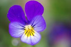 Λουλούδι (anthos, flos) Στοκ Εικόνα