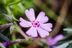 Λουλούδι (anthos, flos) Στοκ φωτογραφία με δικαίωμα ελεύθερης χρήσης