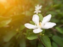 Λουλούδι antidysenterica Wrightia στον κήπο φύσης Στοκ Εικόνα
