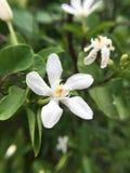 Λουλούδι antidysenterica Wrightia Στοκ Εικόνα
