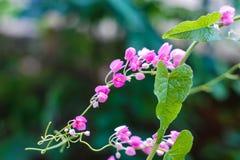 Λουλούδι Antigonon στοκ φωτογραφία
