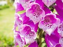 Λουλούδι Antirrhinum Στοκ εικόνες με δικαίωμα ελεύθερης χρήσης