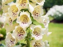 Λουλούδι Antirrhinum Στοκ φωτογραφίες με δικαίωμα ελεύθερης χρήσης