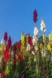Λουλούδι Antirrhinum Στοκ Φωτογραφία