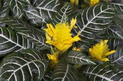 Λουλούδι Aphelandra Στοκ φωτογραφία με δικαίωμα ελεύθερης χρήσης