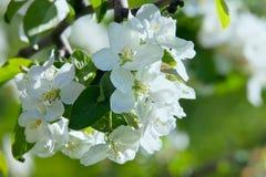 Λουλούδι Apple-δέντρων στο πράσινο υπόβαθρο του κήπου μια άνοιξη Στοκ εικόνες με δικαίωμα ελεύθερης χρήσης