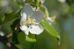 Λουλούδι Apple-δέντρων Στοκ Φωτογραφίες