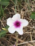 Λουλούδι aquatica Ipomoea Στοκ εικόνα με δικαίωμα ελεύθερης χρήσης
