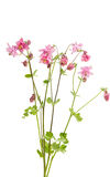 Λουλούδι Aquilegia που απομονώνεται Στοκ Εικόνα