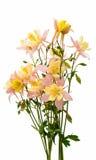 Λουλούδι Aquilegia που απομονώνεται Στοκ φωτογραφία με δικαίωμα ελεύθερης χρήσης