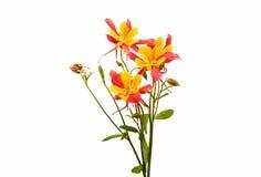 Λουλούδι Aquilegia που απομονώνεται Στοκ εικόνες με δικαίωμα ελεύθερης χρήσης