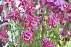 Λουλούδι Aquilegia στον κήπο Στοκ Φωτογραφία