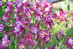 Λουλούδι Aquilegia στον κήπο Στοκ εικόνα με δικαίωμα ελεύθερης χρήσης