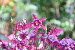 Λουλούδι Aquilegia στον κήπο Στοκ φωτογραφίες με δικαίωμα ελεύθερης χρήσης