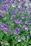 Λουλούδι Aquilegia στον κήπο Στοκ Φωτογραφίες