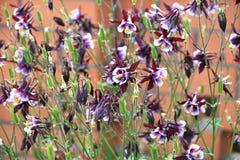 Λουλούδι Aquilegia στον κήπο Στοκ φωτογραφία με δικαίωμα ελεύθερης χρήσης