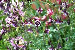 Λουλούδι Aquilegia στον κήπο Στοκ εικόνες με δικαίωμα ελεύθερης χρήσης