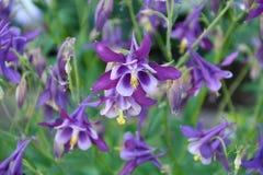 Λουλούδι Aquilegia στον κήπο Στοκ Εικόνες