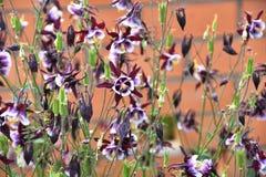 Λουλούδι Aquilegia στον κήπο Στοκ Εικόνα