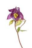 Λουλούδι Aquilegia Στοκ Εικόνες