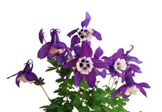 Λουλούδι Aquilegia (Columbine, καπό Grannys) Στοκ φωτογραφία με δικαίωμα ελεύθερης χρήσης