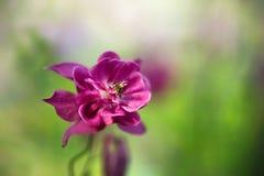 Λουλούδι Aquilegia (columbine), κινηματογράφηση σε πρώτο πλάνο Στοκ Εικόνα