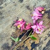 Λουλούδι Aquilegia Columbine στο παλαιό ξύλινο υπόβαθρο Στοκ εικόνες με δικαίωμα ελεύθερης χρήσης